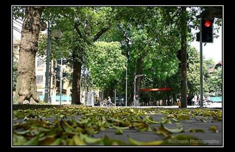 ất riêng, nhưng cũng rất quen cho những tâm hồn lang thang các phố Nguyễn Du, Lê Đức Thọ, Quán Thánh… để tận hưởng hương thơm ngát của hoa sữa qua từng cơn gió thoảng.