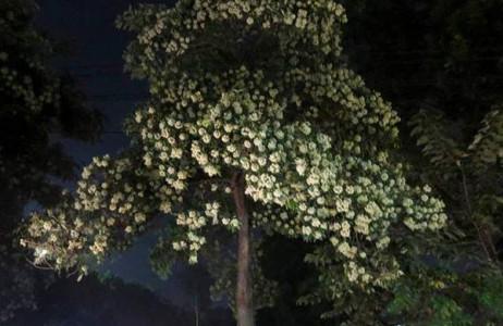 Đêm đến, mùi hương hoa sữa càng nồng nàn.