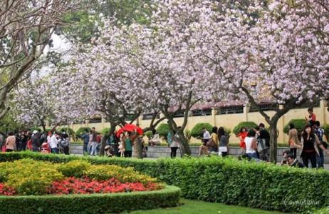 Ngắm hoa ban Tây Bắc rực nở giữa lòng thủ đô Hà Nội