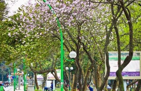 Những cánh hoa ban trắng muốt pha sắc tím hồng mang đến hương vị của miền rừng núi Tây Bắc giữa lòng Thủ đô.