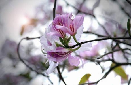 Mỗi bông hoa có 5 cánh, nhụy màu hồng, gân màu tím.