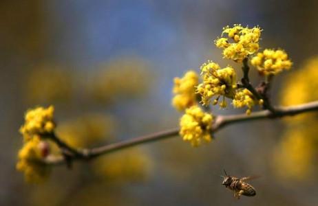 Chú ong bay cao cây dương nở hoa tại Cologne, tây Đức.