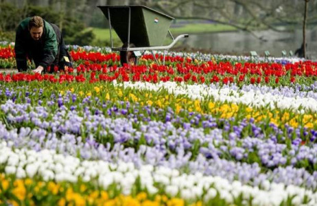 Người làm vườn chăm sóc hoa tulip tại công viên hoa lớn thứ 2 thế giới  Keukenhof ở Lisse, Hà Lan ngày 17/3.