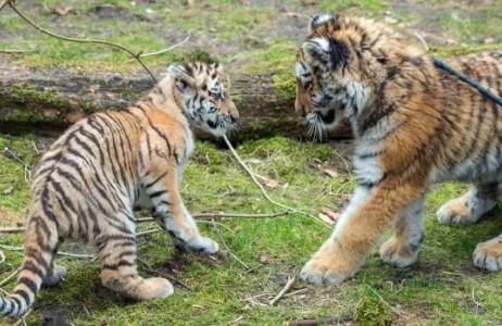 Hai chú hổ Alisha và Dragan gặp nhau lần đầu ngày 10/3 tại vườn thú Ederswalde, Đức.