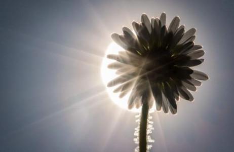 Mặt trời tỏa ánh sáng sau những cánh hoa cúc ở Frankfurt am Main, miền tây Đức ngày 9/3.