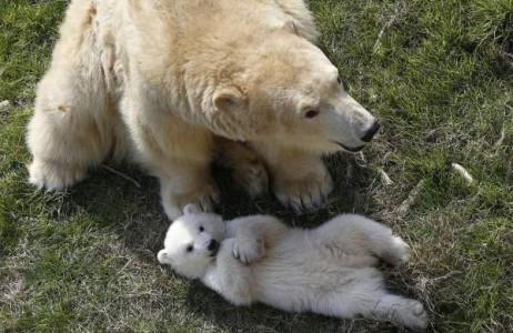 Chú gấu Bắc cực sinh ngày 26/11 vui chơi cùng mẹ tại công viên triển lãm động vật Marineland, Pháp ngày 9/3.
