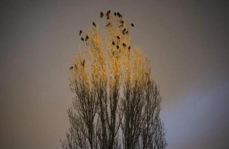 Đàn quạ đậu trên những ngọn cây đón hoàng hôn ở Nyiregyhaza, 226 km về phía đông của Budapest, Hungary ngày 3/3.