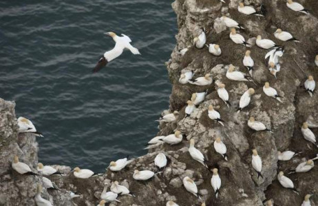 Chim biển làm tổ trên vách đá bãi biển gần Bridlington, miền Bắc nước Anh ngày 20/3.