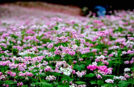 ảnh đẹp , hình ảnh,  hinh anh,  hình ảnh đẹp,  hinh nen,  Hình nền , hình nền đẹp , hoa tam giác mạch