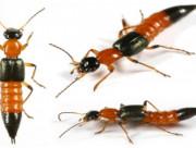kiến ba khoang, phòng ngừa kiến ba khoang, độc của kiến ba khoang