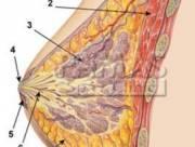 vú, cấu tạo của vú, tuyến sữa, thùy tuyến vú, sự phát triển vú tuổi dậy thì