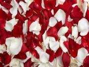 bí quyết làm đẹp, nước hoa hồng, trắng da, chăm sóc da,cách làm nước hoa hồng tại nhà