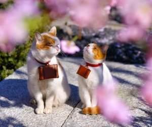 mèo, đáng yêu, du lịch, nhật bản, hoa anh đào, cuộc sống, du lịch nhật bản