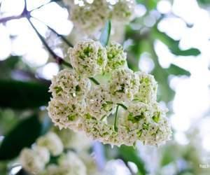 Hoa sữa, hà nội, mùa thu, mùa hoa sữa