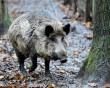 chuyện hy hữu, ma tuý, Lợn rừng, cua so tinh yeu