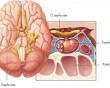 tuyến yên, u tuyến yên, rối loạn nội tiết, suy giáp, tiểu đường, kinh nguyệt, ngực tiết sữa, hormon, buồng trứng, sinh sản