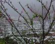 Hoa đào nở ở sapa báo hiệu mùa xuân