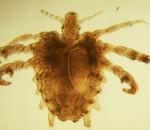 bệnh rận mu, nguyên nhân mắc bệnh rận mu, triệu chứng bệnh rận mu, ngứa vùng mu, xuất hiện các nốt đỏ, biến chứng của bệnh rận mu, cơ thể suy nhược, thiếu máu, điều trị bệnh rận mu, phòng bệnh rận mu