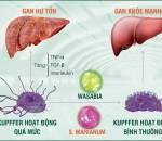 gan, xoang gan, chống độc, y học, sinh học
