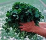 ăn rau cải xoong mỗi ngày, rau cải xoong giúp chống lại bệnh ung thư, chống lại bệnh ung thư