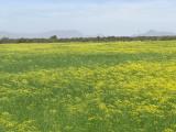 cánh đồng hoa thì là, đồng hoa Ninh Thuận, chủ vườn đóng cửa, ý thức kém, cua so tinh yeu