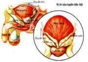tiền liệt tuyến, vị trí tiền liệt tuyến, hình dạng tiền liệt tuyến, cấu tạo tiền liệt tuyến, chức năng tiền liệt tuyến, mạch máu chi phối tiền liệt tuyến