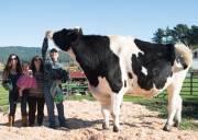 chuyện lạ, thế giới đó đây, bò khổng lồ, bất ngờ, thú vị
