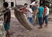 trăn khổng lồ, trăn Indonesia, tử chiến với trăn, cua so tinh yeu