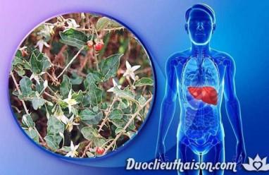 Cà Gai Leo – Cây thuốc quý có tác dụng chữa bệnh gan thần kỳ