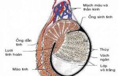 ấu tạo tinh hoàn, tinh hoàn, mào tinh hoàn, ống dẫn tinh, túi tinh, tuyến tiền liệt, mạch máu thần kinh, bìu, sản xuất tinh trùng, tesrosteron
