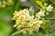 Một số tác dụng của hoa bưởi 'tuyệt hay' trong làm đẹp và sức khỏe
