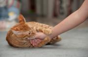 Có cần tiêm phòng ngừa dại khị bị mèo nhà cắn hay không ?
