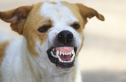 Sau cắn người chó vẫn sống khỏe mạnh thì nó có bị dại hay không ?