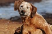 """Có thể bị dại từ """"vết cào"""" của chú chó nhà nuôi không?"""