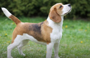 Nguy cơ lây nhiễm dại khi chó cắn không chảy máu?