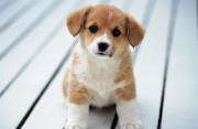 Nguy cơ lây nhiễm dại từ vết cắn của chó con